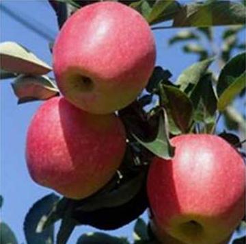 岳艳苹果苗