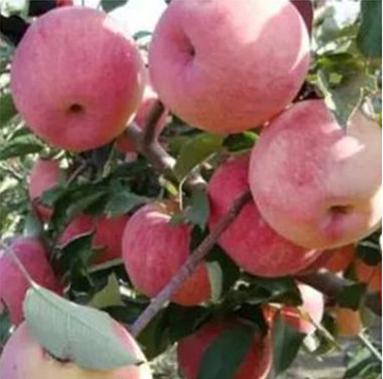 寒富苹果苗