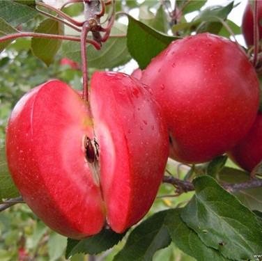 包头苹果苗木