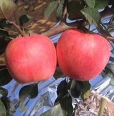 岳冠苹果苗