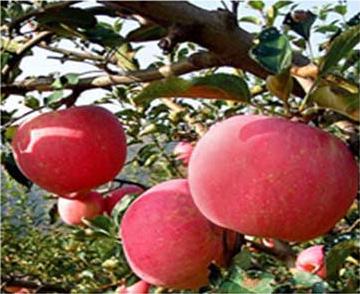 岳阳红苹果苗