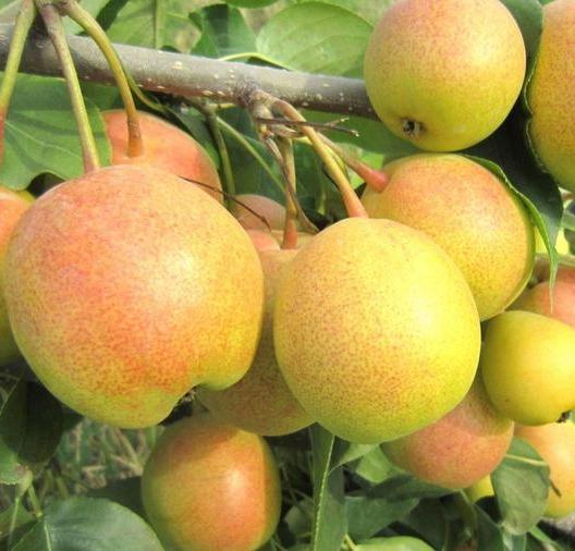 包头梨苗木