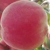 桃树苗基地
