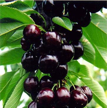 黑珍珠樱桃苗