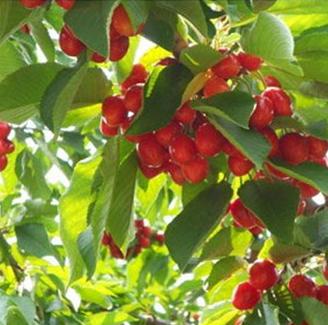 红灯樱桃苗