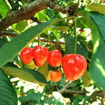 砂蜜豆樱桃苗