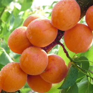 骆驼黄杏树苗