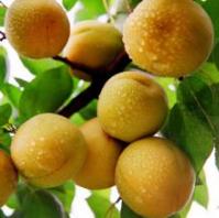 银白杏树苗