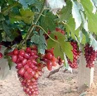 红乳葡萄苗