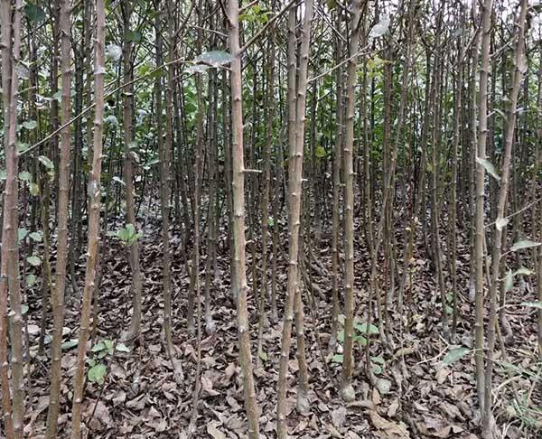 玉露香梨树苗批发基地