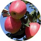 内蒙古苗木,品质保障